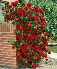 Троянда Амадеус