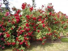Троянда плетиста Амадеус