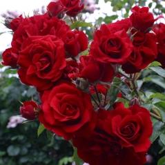Троянда ремонтантна Амадеус