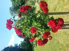 Троянда червона Амадеус