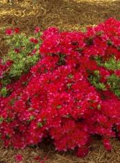 Рододендрон якушиманский Нино Кримсон<br>Рододендрон якушиманський Ніно Кримсон<br>Rhododendron yakushiman Nino Crimson