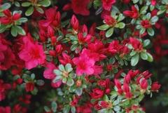 Rhododendron yakushiman Nino Crimson