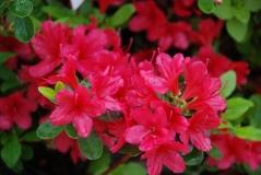 Hino Crimson Azalea