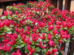 Азалия 'Hino Crimson'