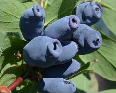 Lonicera edible Bol`shaya Medveditsa