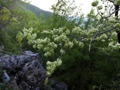 Ulmus корковий