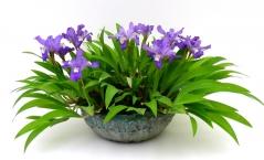 Iris humilis Blue