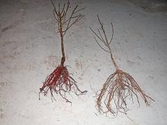 Шелковица черноплодная alba