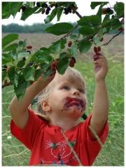Шелковица черноплодная