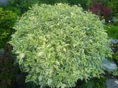 Дерен белый Элегантиссима <br>Дерен білий Елегантіссіма <br>Cornus alba Elegantissima