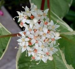 Cornus alba 'Elegantissima' цветы