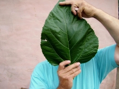 Шелковичное дерево сорт Шелли