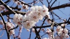 Цветы Абрикос Ананасный Шалах