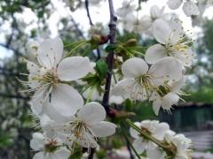 Вишня Восторг цветы