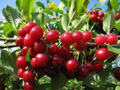 Prunus cerasus Vostorg