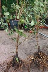 Вишня колоновидная голый корень