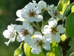 Груша Сан-Реми цветение