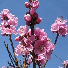 Нектарин Рубис цветение