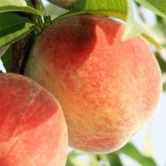 Персик Онтарио Вайс (средний)<br>Персик Онтаріо Вайс (середній)<br>Prunus persica Ontario Weiss