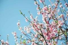 Персик Онтарио Вайс цветение
