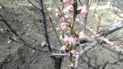Prunus persica Ontario Weiss крона