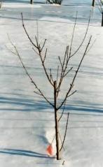 Персик Ontario Weiss зимой