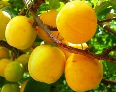 Слива домашняя Ренклод ранний<br>Слива домашня Ренклод ранній<br>Prunus domestica Renklod ranniy
