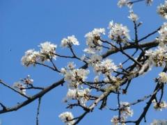 Слива домашняя Ренклод ранняя цветение