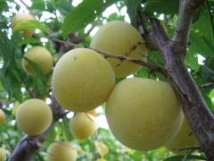 Prunus domestica Renklod ranniy