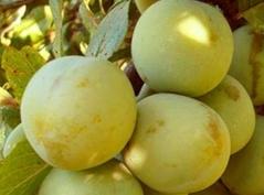 Слива домашняя Ренклод ранняя плоды