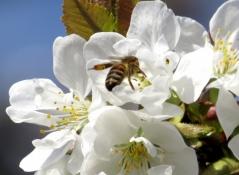 Черешня Донецкая Красавица цветы