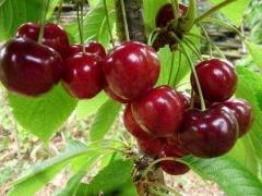 Черешня Донецкая Красавица плоды