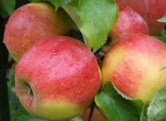 Яблоня домашняя Джонаголд (зимняя)<br>Яблуня домашня Джонаголд (зимова)<br>Malus domestica Jonagold