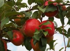 Яблоня домашняя Джонаголд