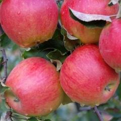Яблуня домашня Джонаголд