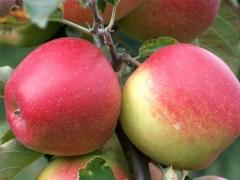 Яблоня Джонаголд плоды