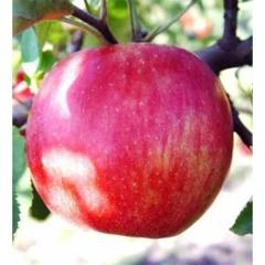 Яблоня Джонаголд зимняя
