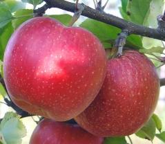 Яблуня Джонаголд зимова