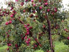 Яблоня домашняя Глостер