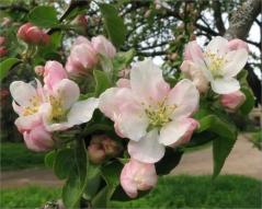 Яблоня зимняя Глостер
