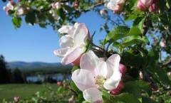 Яблоня домашняя Глостер цветение