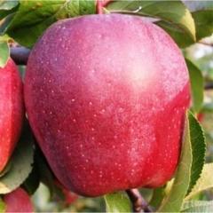 Яблоня Глостер плод