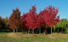Acer rubrum Autumn Blaze описание