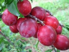 Prunus domestica Hollywood