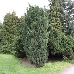 Juniperus chinensis Monarch