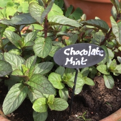 Mentha piperita Chocolate
