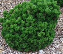 Сосна горная Шервуд Компакт<br>Сосна гірська Шервуд Компакт<br>Pinus mugo Sherwood Compact