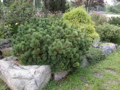 Pinus mugo Sherwood Compact