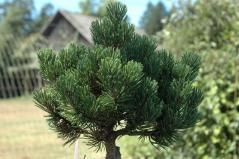 Pinus Sherwood Compact