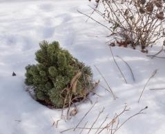 Pinus Шервуд Компакт